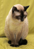 Sad Siamese cat Stock Image