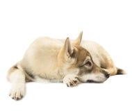 Sad Siberian Husky Stock Image