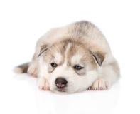 Sad Siberian Husky puppy lying infront. isolated on white Royalty Free Stock Photos