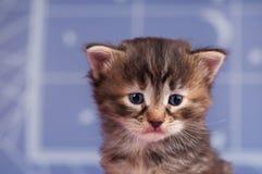 Sad siberian kitten Stock Photography