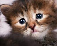 Sad siberian kitten Royalty Free Stock Photos