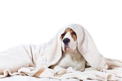 Sad sick dog under a blanket. Beagle on a bed  isolated on white background Royalty Free Stock Photography