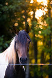 Sad sight bay horse with a big mane of for life in captivity Stock Photography