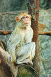 Sad sitting monkey. Sad monkey sitting on the tree royalty free stock photography