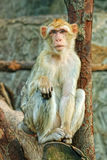 Sad sitting monkey. Sad lonely sitting on tree monkey stock photos
