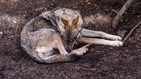 Sad or sleeping female Scandinavian wolf Royalty Free Stock Images