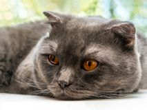 Sad sluggish cat, Scottish Fold breed, laid his head on a white window sill against a tree background.  royalty free stock photography