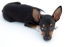 Sad small dog Stock Images