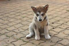 Sad small puppy. Of Alaskan Malamute stock photo