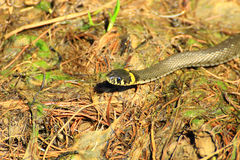 Sad snake eyes. A slithering snake looking at you and it seems that her look sad royalty free stock photography