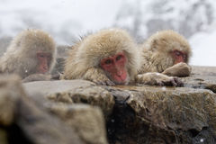 Sad Snow Monkey Royalty Free Stock Photography