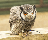 Sad Southern White Faced owl Royalty Free Stock Photos