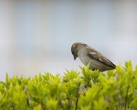 Sad sparrow Royalty Free Stock Photos