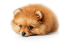 Sad Spitz Puppy Stock Photo