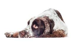 Sad springer spaniel dog Stock Images