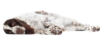 Sad springer spaniel dog Stock Image