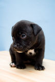 Sad Staffordshire Bull Terrier puppy - 2 weeks. Sitting, sad Staffordshire Bull Terrier puppy (2 weeks Stock Images
