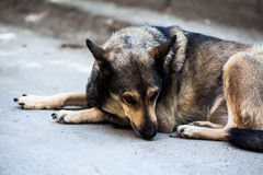 Sad stray dog. Stray dog is lying in an asphalte pavement with sad expression Royalty Free Stock Photography