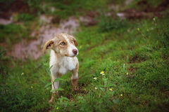 Sad Street Dog in Grass. Closeup with shallow depth of field of a cute sad puppy with blue eyes. Homeless animal photographed in Peru royalty free stock photo