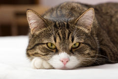 Sad,  striped cat Royalty Free Stock Photography