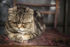 Sad striped Scottish Fold cat. Lying on the balcony on an old torn chair Royalty Free Stock Photography