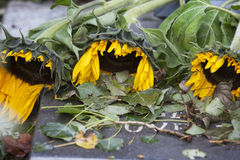 Sad sunflowers Stock Photos