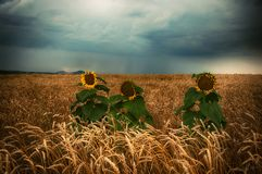 Sad Sunflowers royalty free stock photography