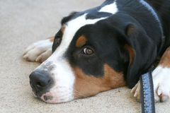 Sad Swiss Mountain Dog Royalty Free Stock Photography
