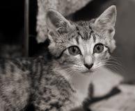 SAD tabby för kattunge Royaltyfri Fotografi