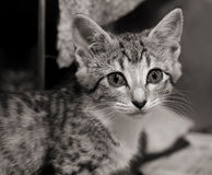 Sad tabby kitten. Small tabby kitten looking out, black and white image royalty free stock photography