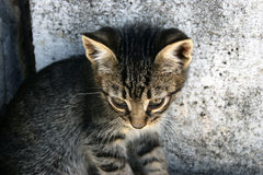 Sad tabby kitten. Little tabby kitten with a sad muzzle looking down stock photo