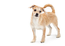 Sad Terrier Dog Standing Looking to Side Royalty Free Stock Photography