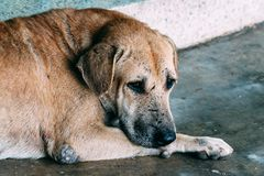 The Sad thai style brown old dog is waiting owner, If you are the owner, Please do not neglect dog Because it`s pathetic stock photography