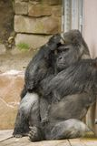 Sad thinking gorilla. Sharp quality shot at the zoo in Nuremberg. Focus is on the eyes Stock Image