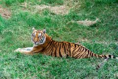 Sad tiger cub lies on the grass stock images