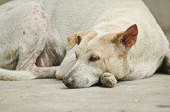 Sad tired sleepy white dog. Outdoor tired sad sleepy white dog in sorrow Royalty Free Stock Photo