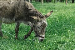 Sad, tortured donkey on a leash on the background of green grass. Close up portrait donkey royalty free stock photography
