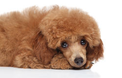 Sad toy poodle Royalty Free Stock Photos