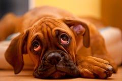 SAD tysk valp för boxarehund Arkivfoton