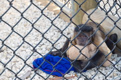 Sad and upset small monkey sitting in a cage, hugging teddy in Everglades National Park. Royalty Free Stock Photography