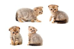 Sad very small fluffy kitten scottish fold on white isolated background. With a sore eye that is peeling off. Sad very small fluffy kitten scottish fold on white Royalty Free Stock Image