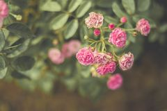 The sad vintage rose that is heartbroken. The sad vintage rose garden that is heartbroken royalty free stock image