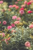 The sad vintage rose that is heartbroken. The sad vintage rose garden that is heartbroken royalty free stock images