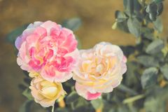 The sad vintage rose that is heartbroken. The sad vintage rose garden that is heartbroken royalty free stock photos