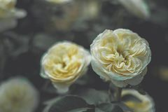 The sad vintage rose that is heartbroken. The sad vintage rose garden that is heartbroken royalty free stock photo