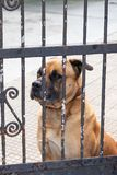 Sad watchdog looking through the bars of the gate royalty free stock photo