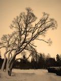 Sad weeping willow tree Stock Photo