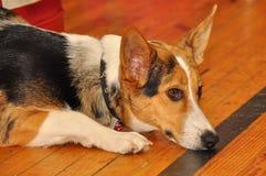 Sad Welsh corgi Pembroke dog Stock Photos