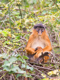 A sad Western Red Colobus monkey. The expression in the face of this Western Red Colobus (Procolobus badius) shows a deep melancholy Royalty Free Stock Photo