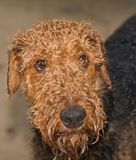 Sad, wet dog. A sad, wet airedale terrier waits at the door to be let inside stock images